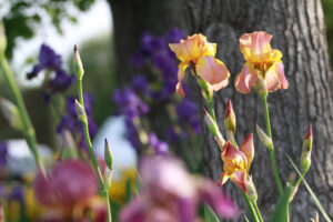 Irises in the front yard