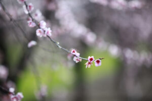 blossums-8046