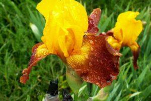 flower-water-drops16