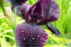 flower-water-drops3