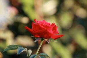 red-rose_0914